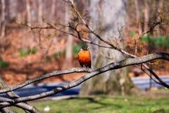 在一个分支的美国知更鸟在中央公园,NY 图库摄影