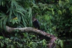 在一个分支的美洲蛇鸟在运河 图库摄影