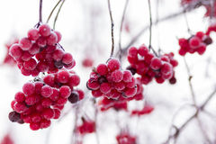 在一个分支的花楸浆果在霜和冰晶 库存图片