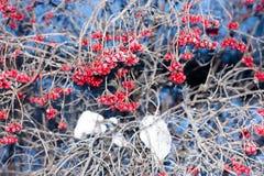 在一个分支的花楸浆果在霜和冰晶 库存照片