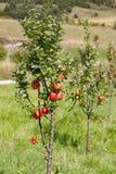 在一个分支的苹果在庭院里在法国 库存图片