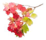 在一个分支的荚莲属的植物与叶子 图库摄影