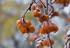 在一个分支的莓果在冰以后在10月下雨 特写镜头 免版税库存照片