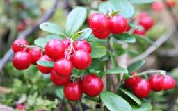 在一个分支的蔓越桔与叶子在森林里 库存图片