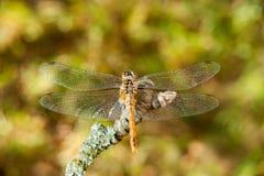 在一个分支的蜻蜓在庭院里 免版税库存图片