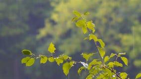 在一个分支的雨珠与叶子 影视素材