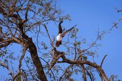 在一个分支的非洲鱼鹰在乔贝国家公园在博茨瓦纳,非洲 库存图片