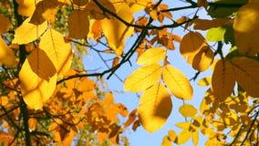 在一个分支的黄色叶子在被弄脏的黄色叶子特写镜头背景  影视素材