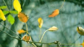 在一个分支的黄色叶子在被弄脏的黄色叶子特写镜头背景  股票视频