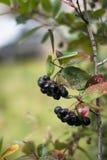 在一个分支的黑堂梨属灌木在秋天庭院里 免版税库存图片
