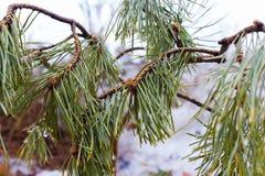 在一个分支的年轻杉木与绿色针 免版税图库摄影