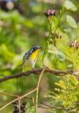 在一个分支的黄色红喉刺莺的鸣鸟用果子 库存图片