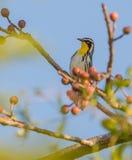 在一个分支的黄色红喉刺莺的鸣鸟用果子 免版税库存照片