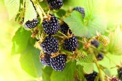 在一个分支的黑莓在庭院里 免版税库存图片