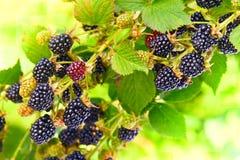 在一个分支的黑莓在庭院里 免版税库存照片