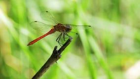 在一个分支的蜻蜓在绿色植物背景 股票视频
