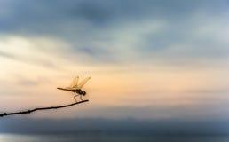 在一个分支的蜻蜓早晨 免版税库存照片