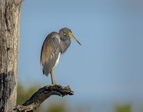 在一个分支的Tricolored苍鹭在佛罗里达,美国 库存照片