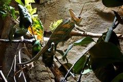 在一个分支的Veild变色蜥蜴在墙壁前面 免版税图库摄影