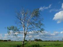 在一个刮风的天气期间的偏僻的桦树 免版税库存照片