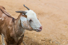 在一个动物农场的幼小棕色山羊在清迈,泰国 免版税图库摄影