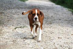 在一个动物农场的聪明的母美国牛头犬 免版税库存图片