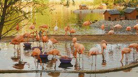 在一个动物园的桃红色火鸟在莫斯科 库存照片