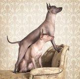 在一个古色古香的长沙发的Xoloitzcuintle狗 免版税库存图片
