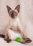 在一个可笑姿势的暹罗小猫 图库摄影