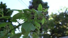 在一个后院复盆子灌木丛附近的一次蜂飞行在超级慢动作 股票视频
