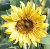 在一个向日葵的一只蜂在安徒生向日葵农场 图库摄影