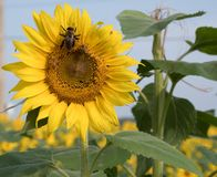 在一个向日葵的一只蜂在安徒生向日葵农场 免版税库存图片