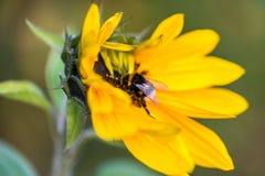 在一个向日葵的土蜂在秋天 免版税库存图片