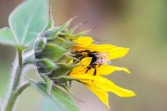 在一个向日葵的土蜂在秋天 图库摄影