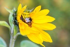 在一个向日葵的土蜂在秋天 库存图片