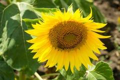 在一个向日葵的蜂在保加利亚 免版税库存照片