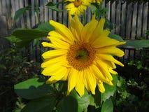 在一个向日葵的蜂在木篱芭背景  免版税图库摄影