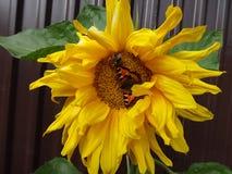 在一个向日葵的蜂在木篱芭背景  免版税库存图片
