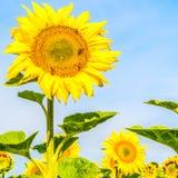 在一个向日葵的蜂在领域 免版税库存图片