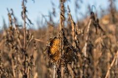 在一个向日葵领域在秋天,德国的退色的向日葵 免版税库存照片