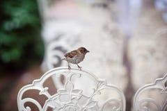 在一个咖啡馆的麻雀在椅子背面 库存图片