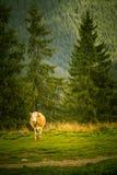 在一个喀尔巴阡山脉的风景的一头母牛 库存图片