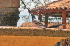 在一个喷泉的鸽子在洪都拉斯殖民地居民城市 免版税图库摄影