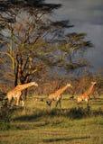 在一个国家公园中间的3 girafes在纳库鲁湖国家公园 库存照片