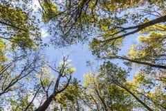 在一个圈子的树梢在蓝天下 库存照片