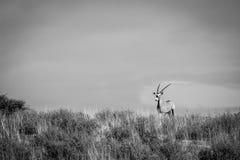 在一个土坎的大羚羊在黑白 免版税库存照片