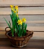 在一个土气柳条筐的春天水仙在木背景 库存图片