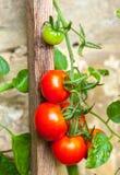 在一个土气石墙上的成熟蕃茄 免版税图库摄影