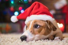 在一个圣诞树圣诞老人红色帽子下的杰克罗素有礼物的和 库存图片
