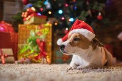 在一个圣诞树圣诞老人红色帽子下的杰克罗素有礼物的和 免版税图库摄影